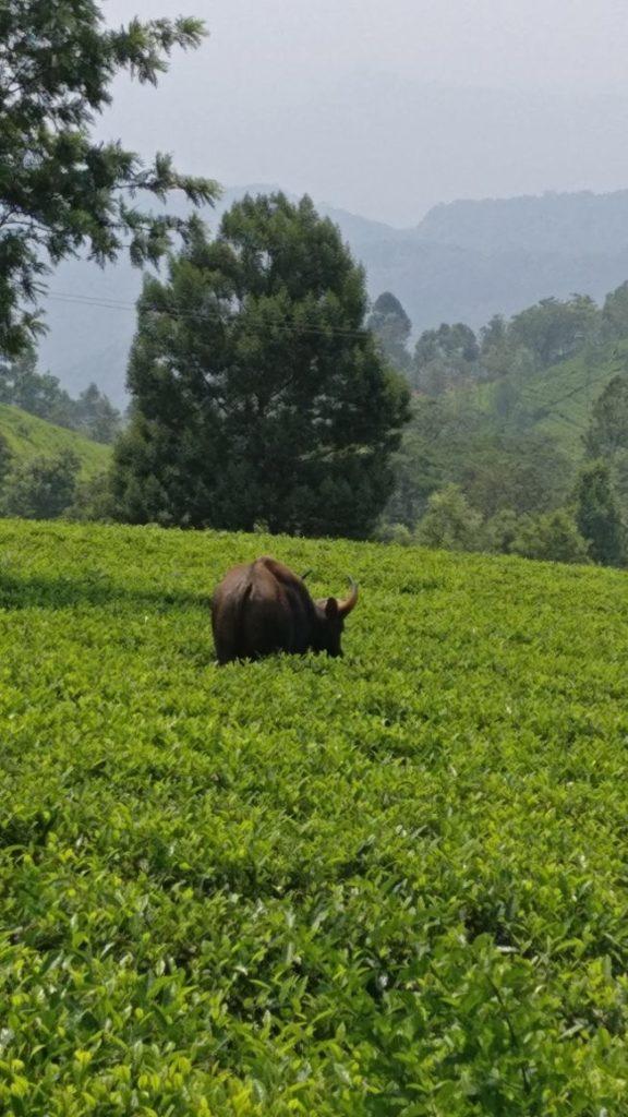 Bison, amidst the tea garden