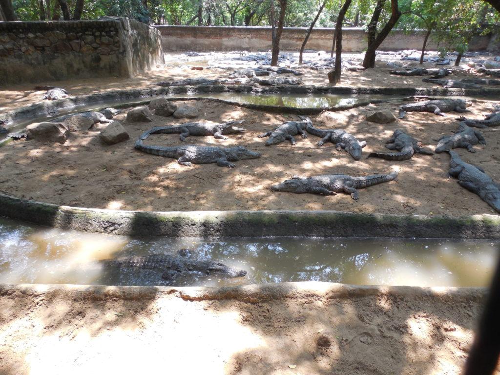 Crocodiles at Crocodile park