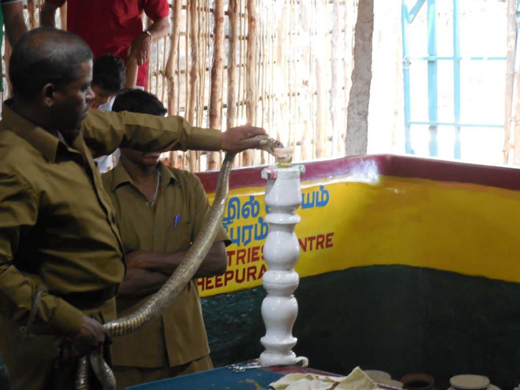 Venom Extracting from Snakes
