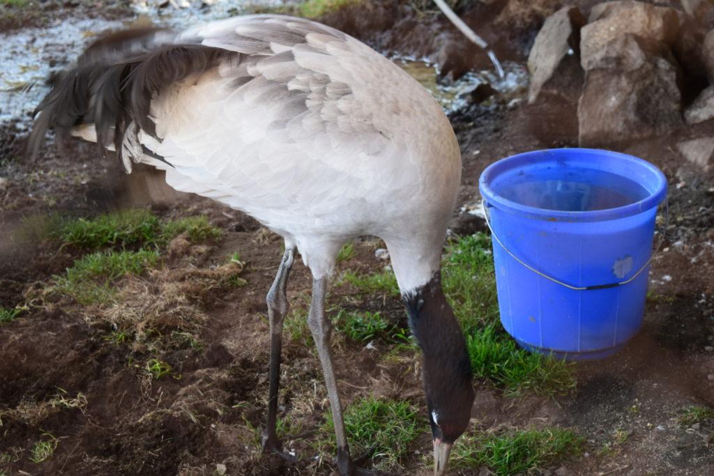 Gangtey Valley Black neck Crane