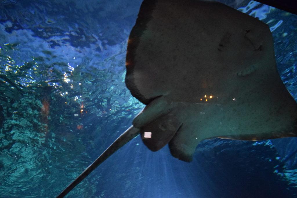Manta Ray at Sea Life Ocean World, Bangkok