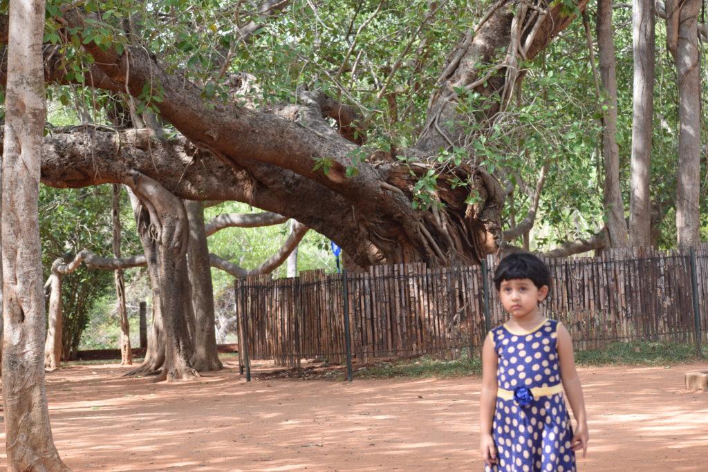 The big banyan tree near Matrimandir