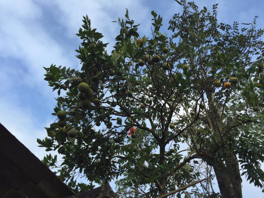 Orange Tree at our homesta