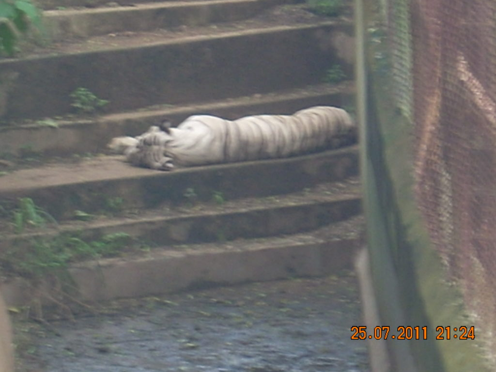 White Tiger at Nandan Kanan